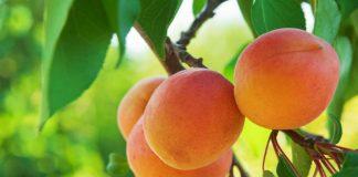 Hold deg ung og frisk med aprikos