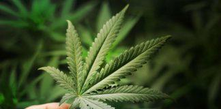 Cannabis effektivt mot ms