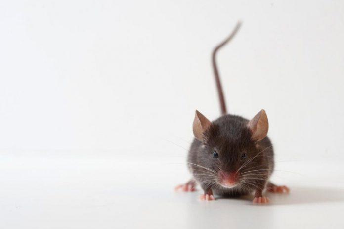 En mus