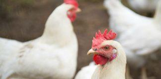 Resistente bakterier fra kylling