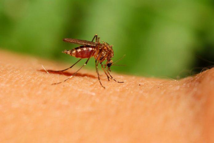 Mygg som stikker en arm